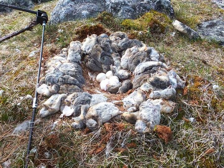 Good times in the Arctic. Seventy lemmings and eight voles ring a snowy owl nest in northern Quebec in 2013 - evidence of the abundant prey that made this winter's irruption of young owls possible. (© Christine Blais-Soucy)