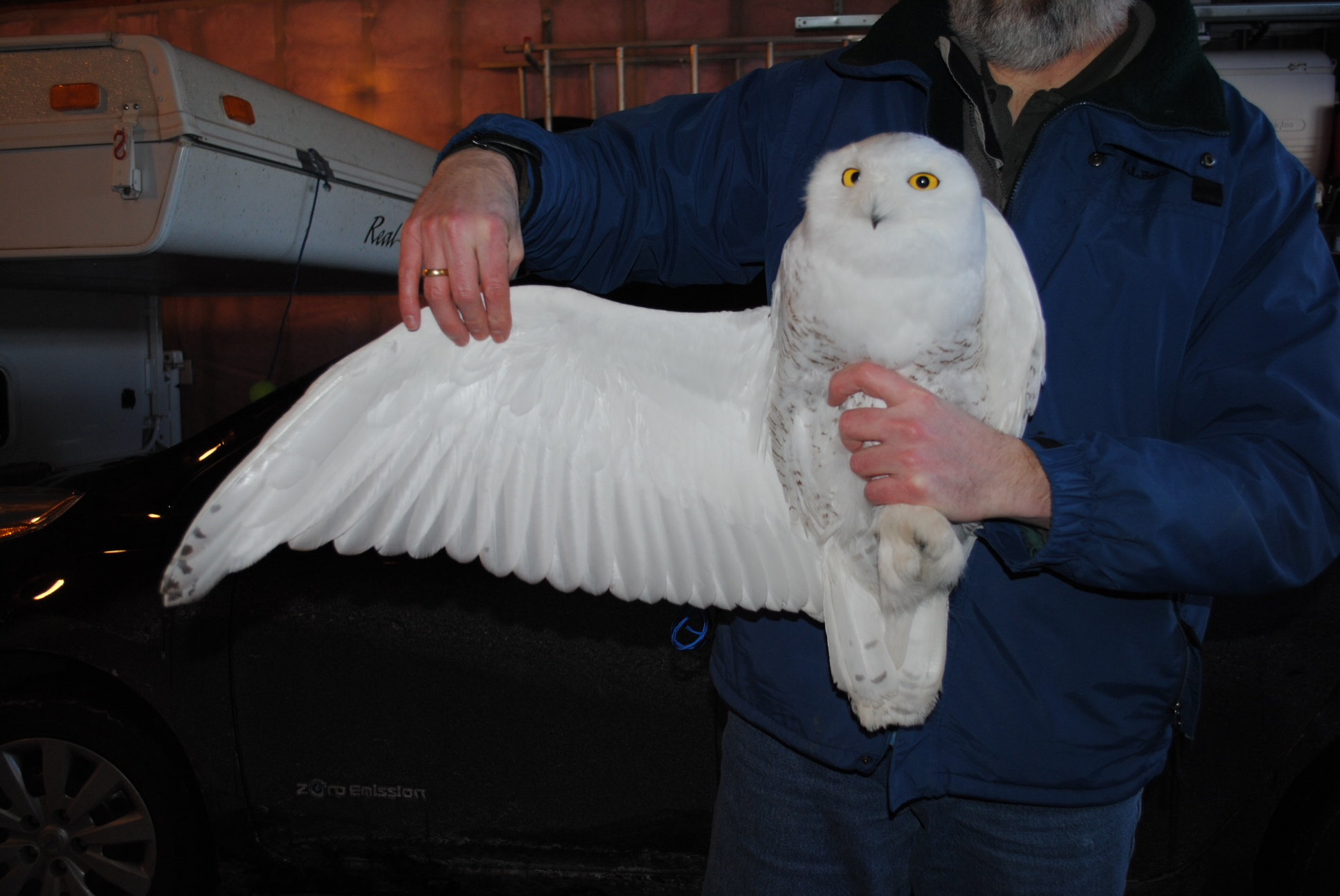David Alexander holds Ramsey, our first tagged owl in Minnesota. (©Andrew Longtin)