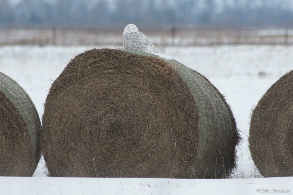 Buena Vista perches on a hay bale. (photo by Eric Preston)