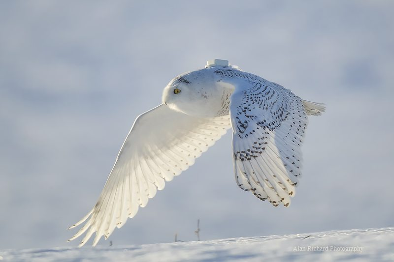 Amishtown, one of the 22 snowy owls we tagged last winter, on a snowy morning in Lancaster County, Pa. (©Alan Richard)
