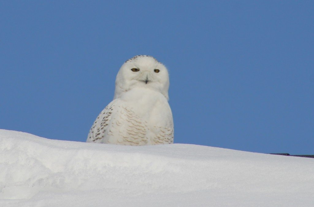 Snowy owls almost always face the sun -- one of the challenges we've encountered using solar-charged transmitter, since the unit is almost always in the shade. (©Ruth Witmer)