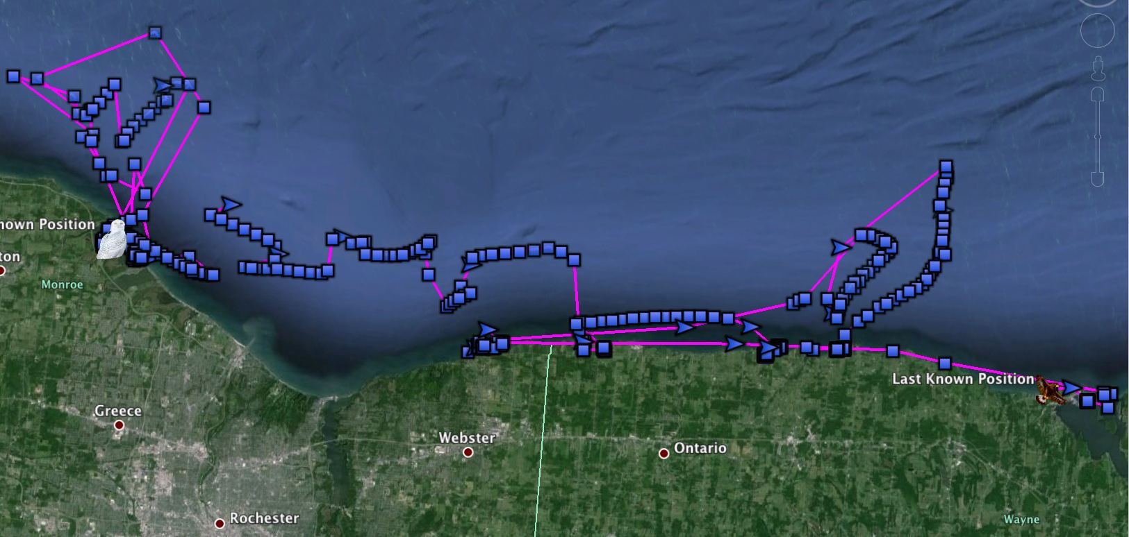Braddock (left) and Cranberry's movements, often riding the ice margin that hangs five ti seven miles offshore in Lake Ontario. (©Project SNOWstorm)