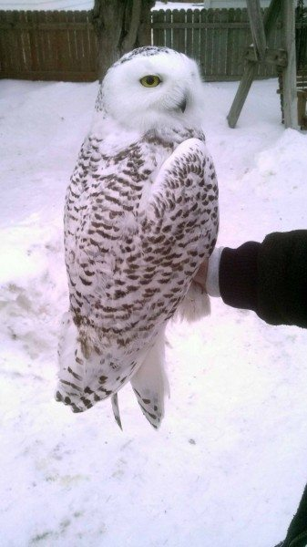 Kewaunee, our third snowy owl tagged in Wisconsin (©Gene Jacobs)