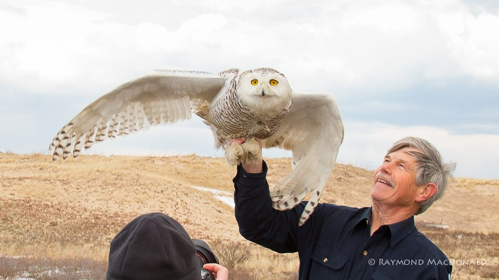 Norman Smith prepares to release Century, the 100th snowy owl he'd relocated from Logan Airport in Boston in 2013-14. (©Raymond MacDonald)