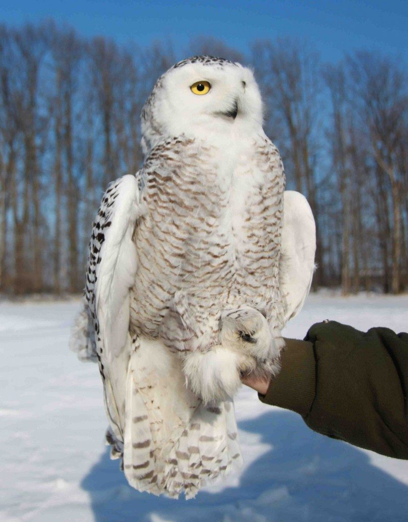 Marshfield, an immature male snowy owl, tagged March 6 near the Wisconsin town of the same name (©Gene Jacobs)