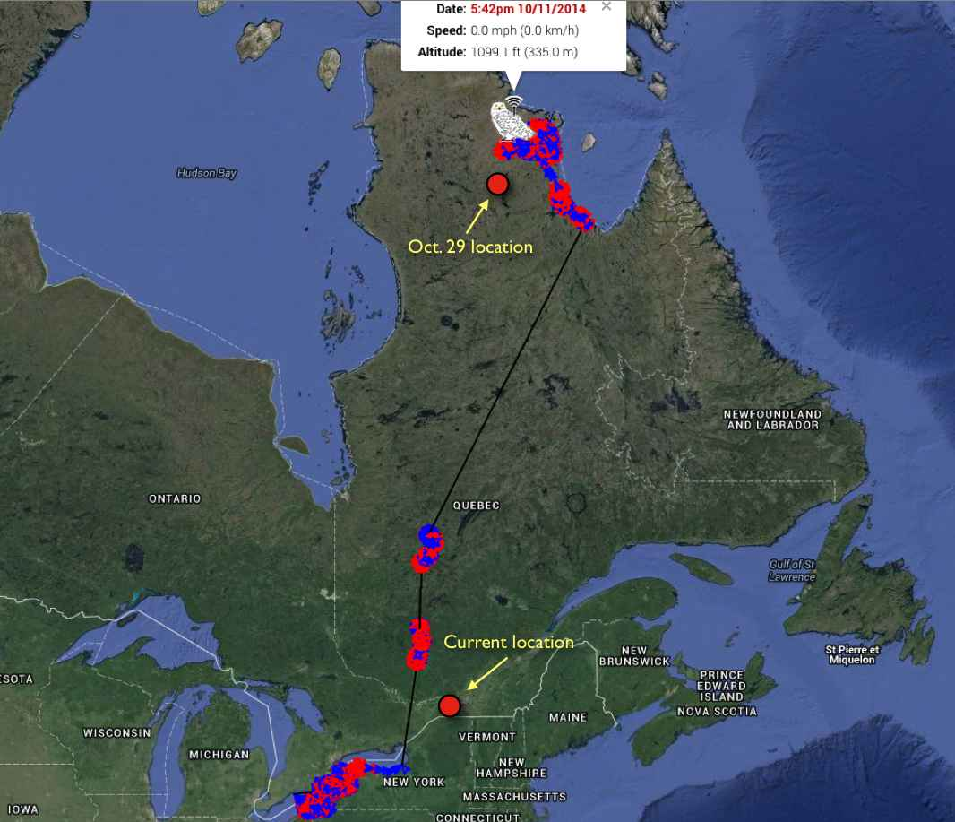 Millcreek's movements through Oct. 11. Although his southbound data aren't expected until Friday, we know he was still in the Ungava Oct. 29 -- and is in southeastern Ontario now. (©Project SNOWstorm and Google Earth)