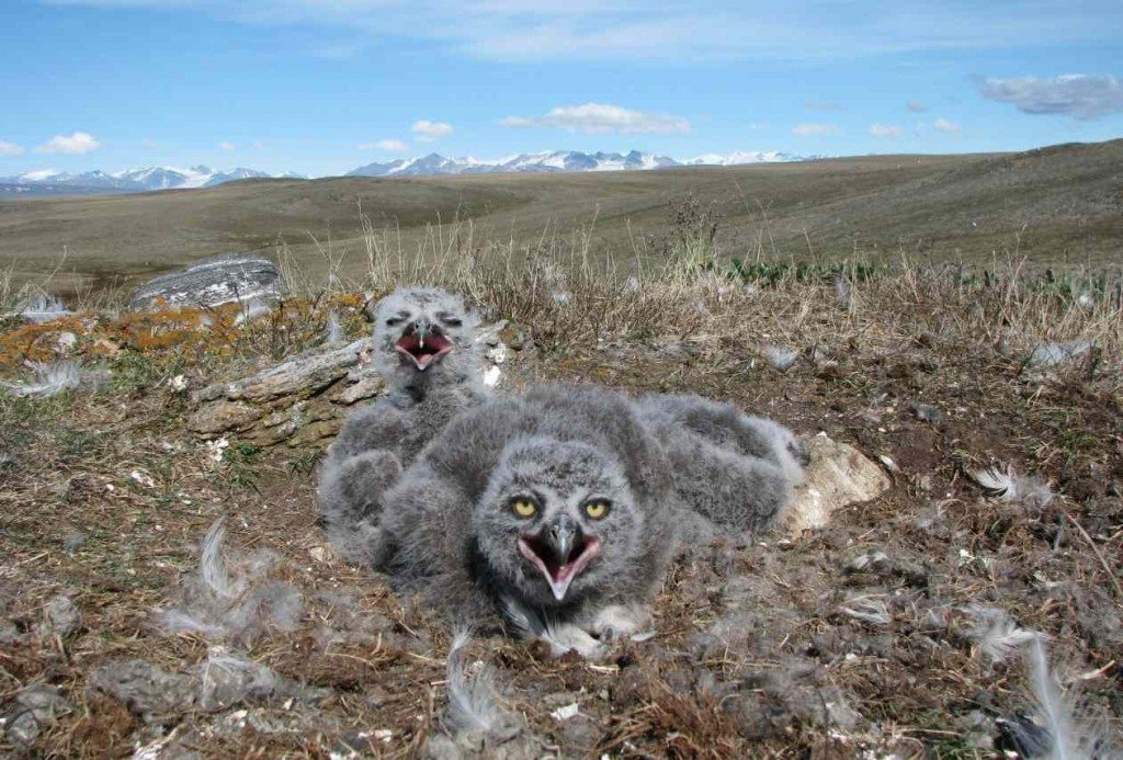 Clad in their gray juvenal down, snowy owl chicks huddle against the wind on Bylot Island in Nunavut, in the Canadian Arctic. (©Meggie Desnoyers)