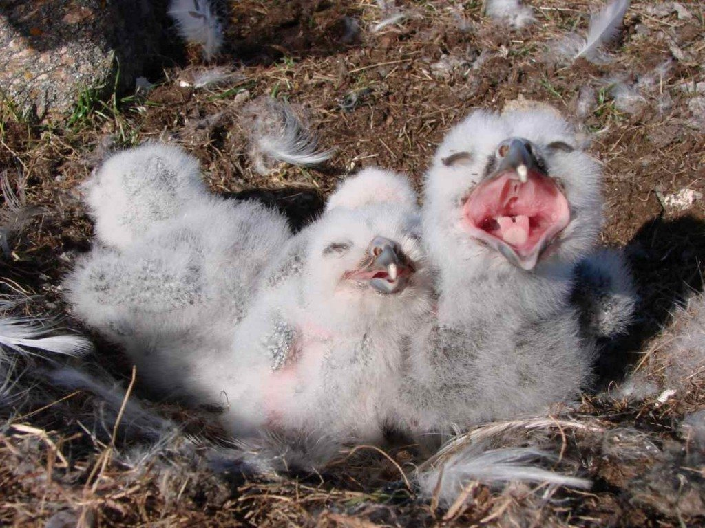 Scientists, including SNOWstorm collaborator J.F. Therrien, documented record numbers of nesting snowy owls on Bylot Island this year, including these young chicks. (©Pierre-Yves L'Hérault)