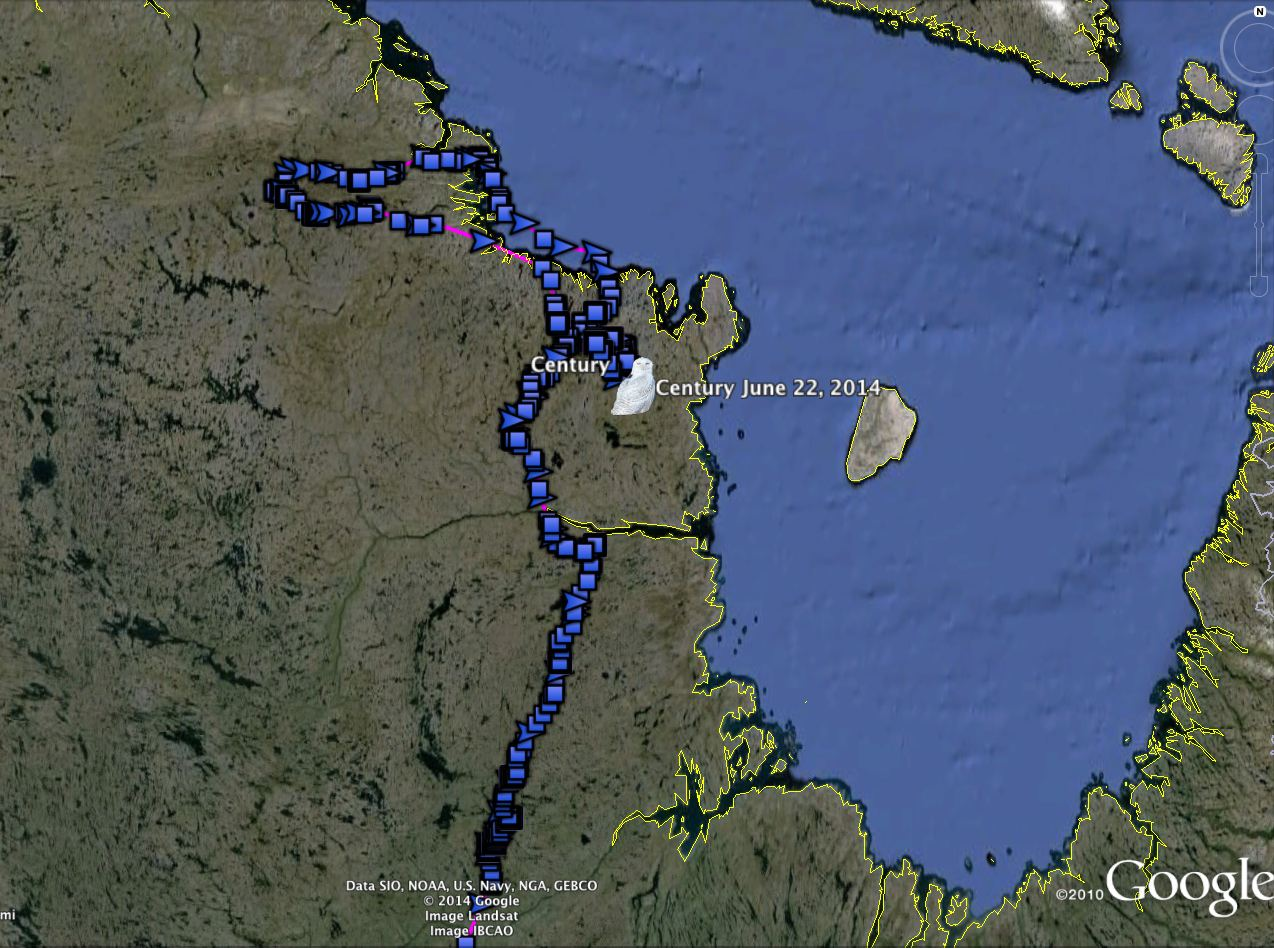 Century's movements in Nunavik through the middle of June. (©Project SNOWstorm and Google Earth)