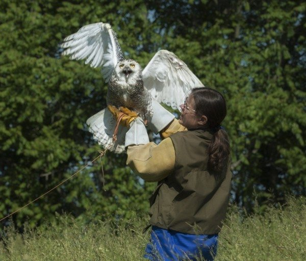 Wildlife rehabilitator Suzanne Shoemaker, of Owl Moon Raptor Center, prepares to release Delaware during flight strengthening and evaluation. Delaware is attached to a creance, a long line tethering her during training. She is gently slowed before reaching the end of the line. (© Allison Murphy)
