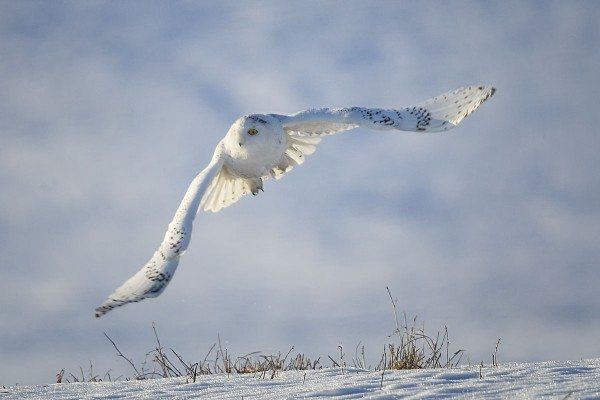 An analysis of thousands of photographs contributed by SNOWstorm supporters created a picture of age and sex class distribution of snowy owls during major irruptions, across an enormous geographic area. (©Alan Richard)