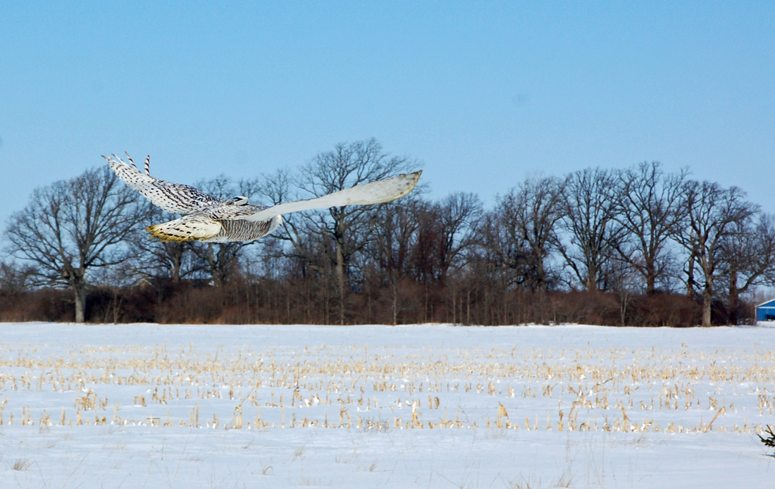 Buckeye, the first SNOWstorm owl in Ohio, takes off under a frigid winter sky. (©Kate Zimmerman)