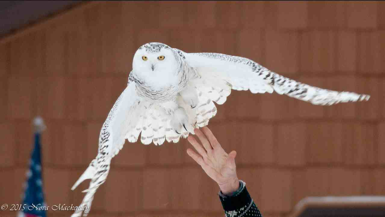 With a toss, Chippewa -- a new SNOWstorm owl in the Upper Peninsula of Michigan -- goes back in the air. (©Nova Mackentley)