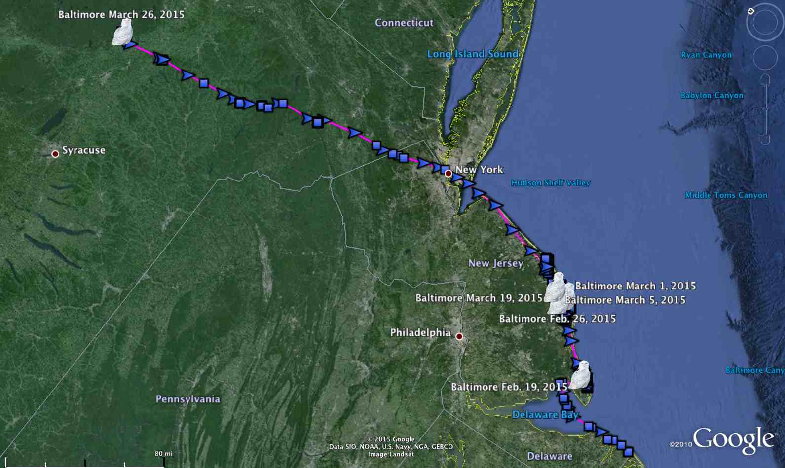 Baltimore's movements since being relocated to Assateague Island in February -- including his more than 300-mile flight north last week. (©Project SNOWstorm and Google Earth)