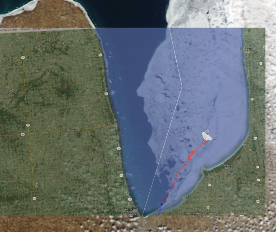 An overlay of Geneseo's track on March 19, and the satellite image of ice on Lake Huron, shows how this male owl skirted the open water for the lingering ice shield along the eastern side of the lake. (©Project SNOWstorm, Google Earth and NOAA CoastWatch)