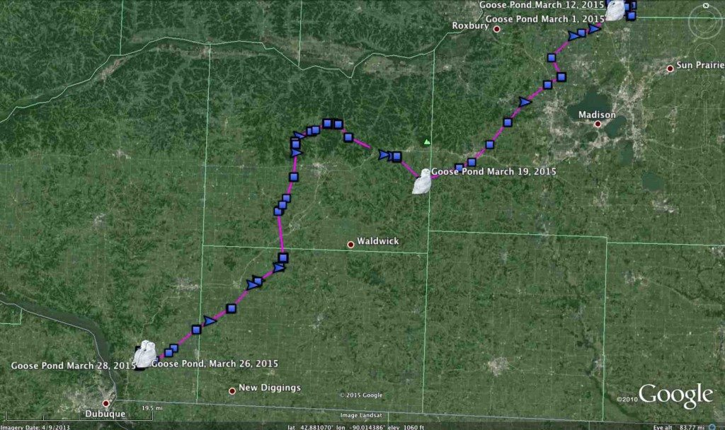 Goose Pond -- did he get cold feet before getting to the Mississippi, or will he become our first tagged Iowa owl? (©Project SNOWstorm and Google Earth)