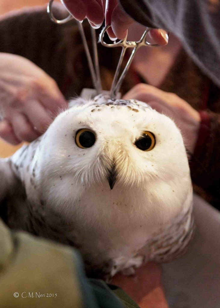 Hemostats hold the Teflon ribbon harness securely while Nova Mckentley carefully adjusts Whitefish Point's new transmitter. (Those little speckles in her feathers? Chewing lice, which all birds haven but are a lot more visible on a snowy owl.) (©Chris Neri)