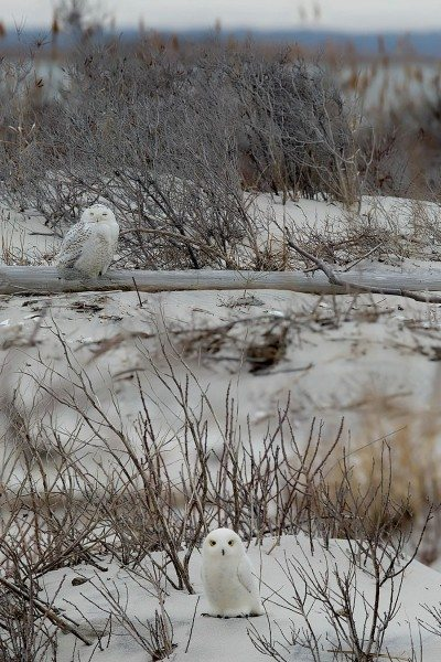 An Unreal snowy owl and a very real one (thanks to the visual magic of a split-field lens). You can get one of these lovely plush birds for a $100 tax-deductible donation to Project SNOWstorm -- if you hurry.