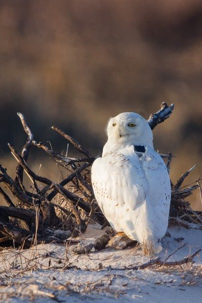 Baltimore basks in some mild spring sunshine on Long Beach Island, which was a hotspot in New Jersey for snowy owls this winter. (©Jim Verhagen)