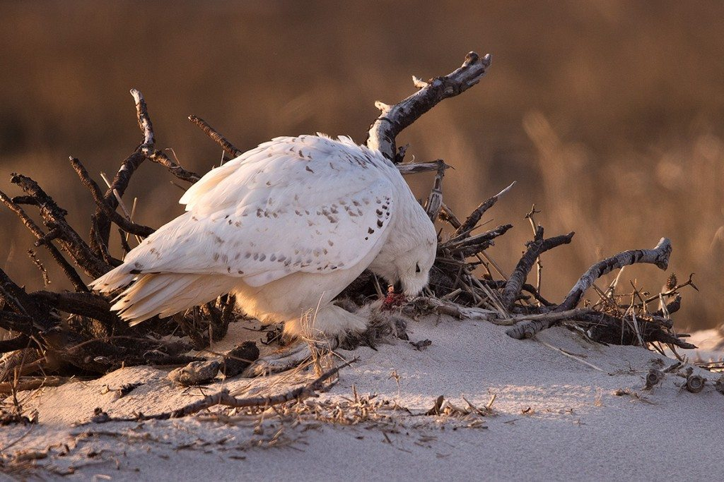 Baltimore finishes off last night's leftovers (the legs of an unlucky rabbit) on Long Beach Island, New Jersey. (©Jim Verhagan)