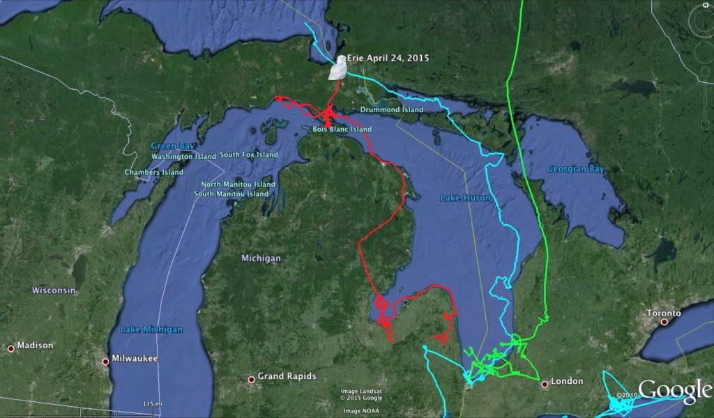 Erie's movements through several seasons. Pale blue is northbound migration in spring 2014; green is southbound and early winter 2014-15; and red is northbound in spring 2015. (©Project SNOWstorm and Google Earth)