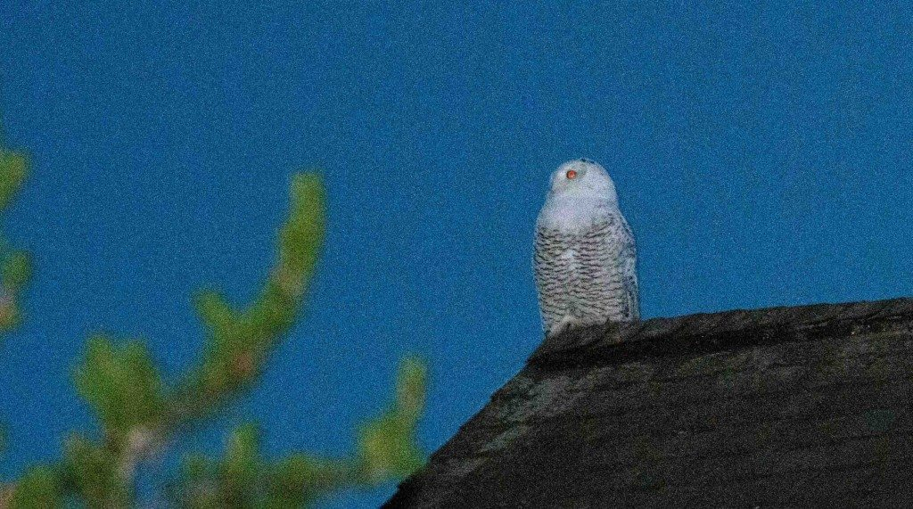 SNOW on the roof -- Nova Mackentley caught this snowy owl on their rooftop on Whitefish Point, on the U.P. of Michigan, on Oct. 22. (©Nova Mackentley)