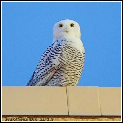 Perched atop a home improvement store in Lebanon, PA, a snowy owls surveys an unfamiliar landscape. (©Mike Shull)