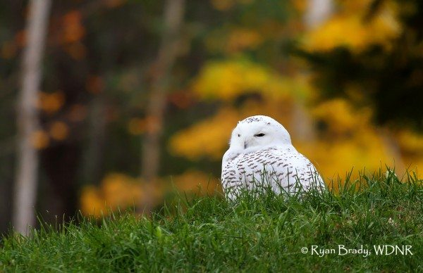 Ryan Brady of Wisconsin Department of Natural Resources got this photo last week of a snowy owl in a wooded backyard. (©Ryan Brady)