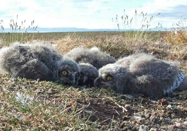 Three snowy owl chicks huddle at their nest on Bylot Island, where SNOWstorm team member Jean-François Therrien works every summer. (©Cassandra Cameron)