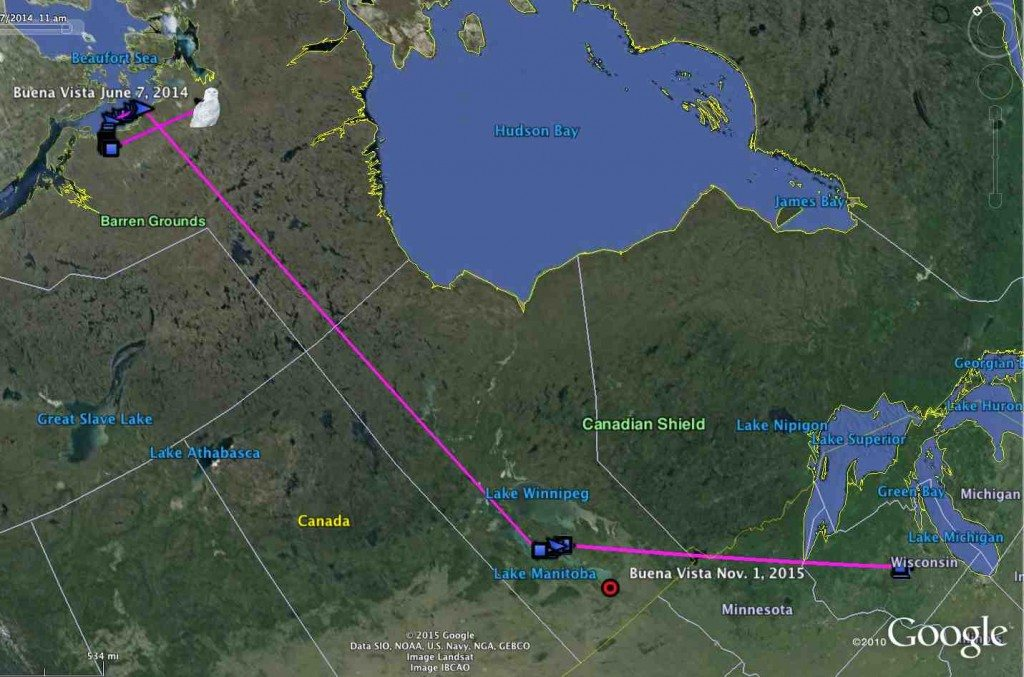 From his tagging point in central Wisconsin, Buena Vista moved first to southern Manitoba, then to northern Nunavut in the early summer of 2014. (©Project SNOWstorm and Google Earth)