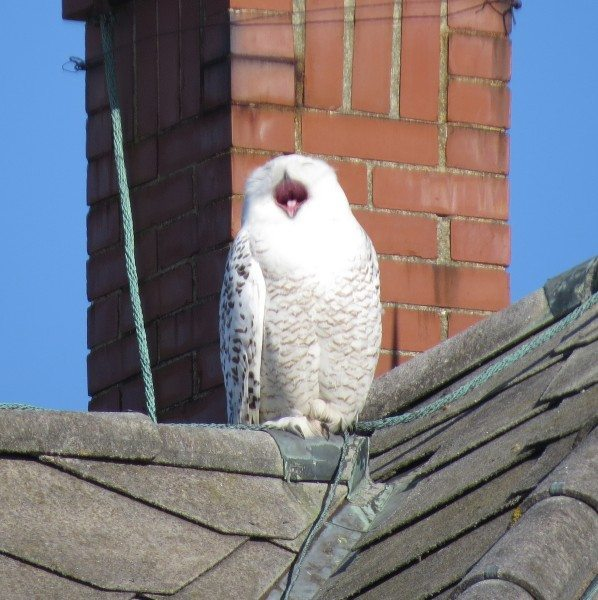 Sitting in the sun can make an owl sleepy, too. (©Josh Fecteau)
