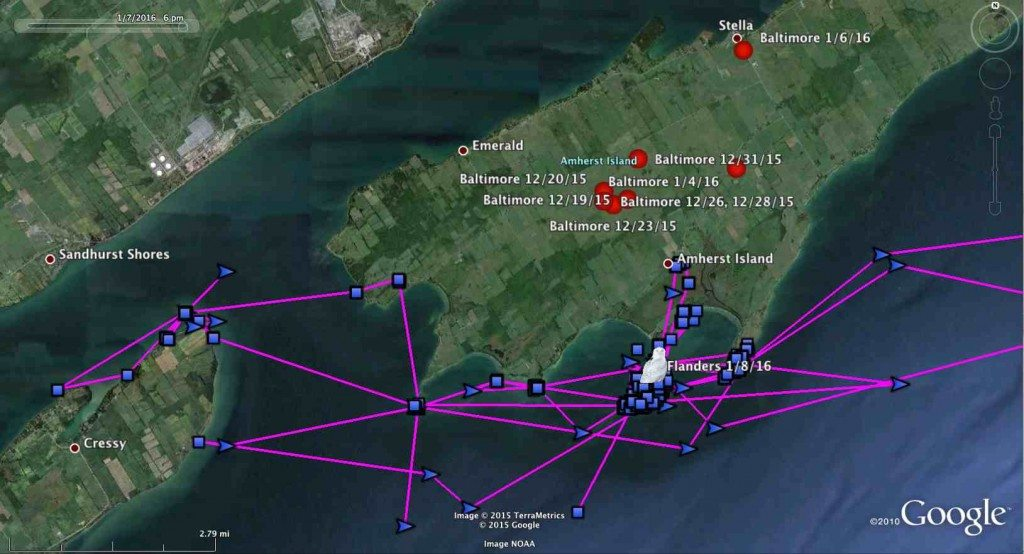In the month since she was tagged, Flanders has moved back and forth across the northeastern margin of Lake Ontario. Baltimore's evening locations, on the other hand, are largely confined to the interior of Amherst Island. (Project SNOWstorm and Google Earth)