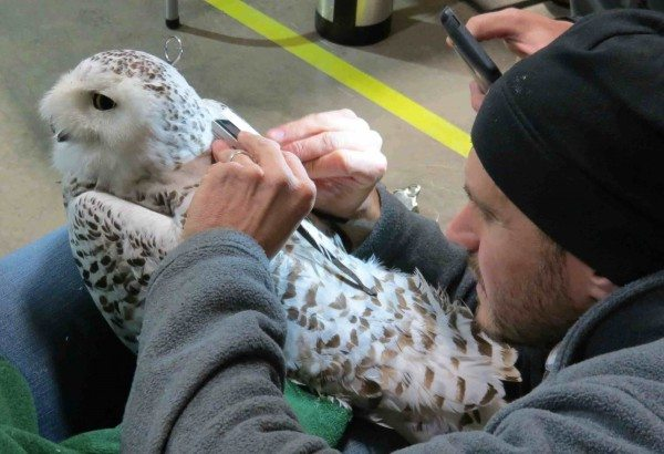Chris DeSorbo from BRI fits Casco with her harness -- a careful and meticulous process. (©BRI)