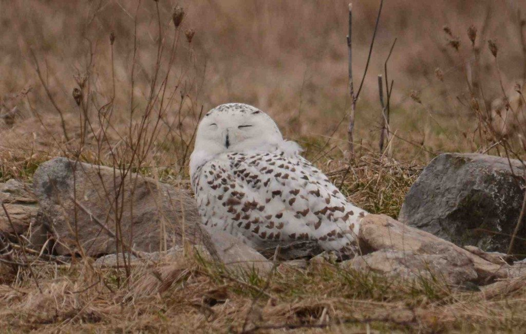 Dan and Patricia Lafortune found Flanders on Amherst Island Feb. 7 -- one of 13 snowies they spotted that day. (©Patricia and Dan Lafortune)