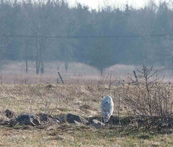 Flanders, hanging out near the north shore of Amherst on Feb. 7, when a number of visiting birders were able to observe her. (©Katusaku)