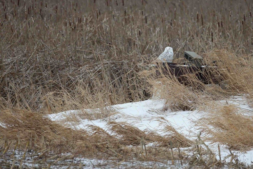 Tucked in among frosty cattails (and with her transmitter hidden among her feathers) Flanders takes a nap on Amherst Island. (©Melissa Groo)