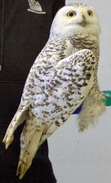 Buckeye, before receiving her transmitter last winter. This adult female, who spent last winter in northwestern Ohio, just checked in from southern Ontario. (©Black Swamp Bird Observatory)