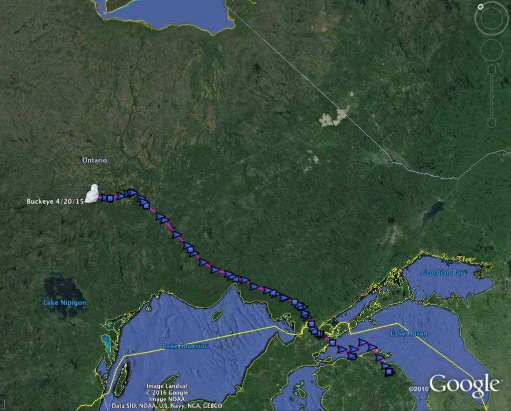 The first section of Buckeye's spring 2015 northbound migration -- we hope to quickly get the rest of her data, showing where and how she spent the past year. (©Project SNOWstorm and Google Earth)