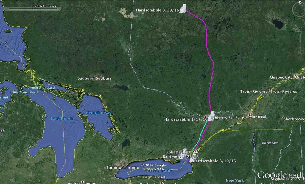 Both Tibbetts and Hardscrabble moved north to the Ottawa River valley last week, and an unexpected transmission from Hardscrabble showed he'd moved well up into western Quebec. (©Prioject SNOWstorm and Google Earth)