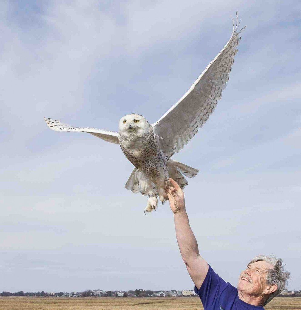 Your contribution today will allow us to continue our groundbreaking work with snowy owls -- and every penny goes directly into the research. (©Raymond MacDonald)