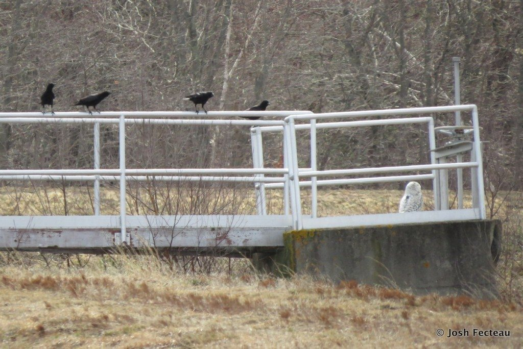 Annoying locals; a group of American crows mobs Casco. (©Josh Fecteau)
