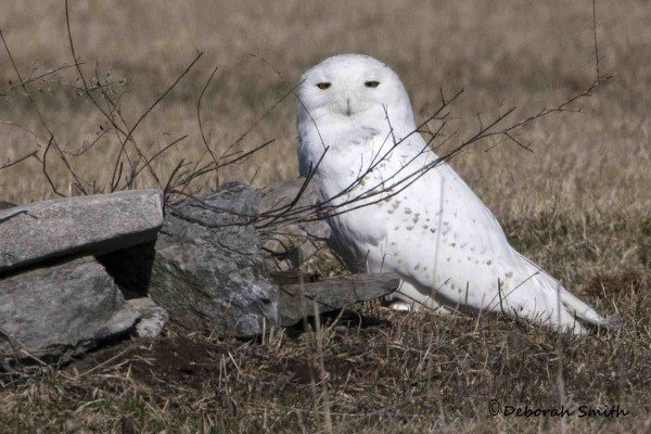 Our tagged owls may be gone, but there are still a few snowies hanging around Amherst Island, including this bird that Deborah Smith photographed there last week. (©Deborah Smith)