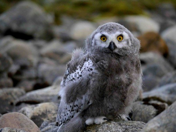 """In the development stage known as """"white mask,"""" a fledgling snowy owl checks out a human in its Arctic home. (©A. Robillard)"""