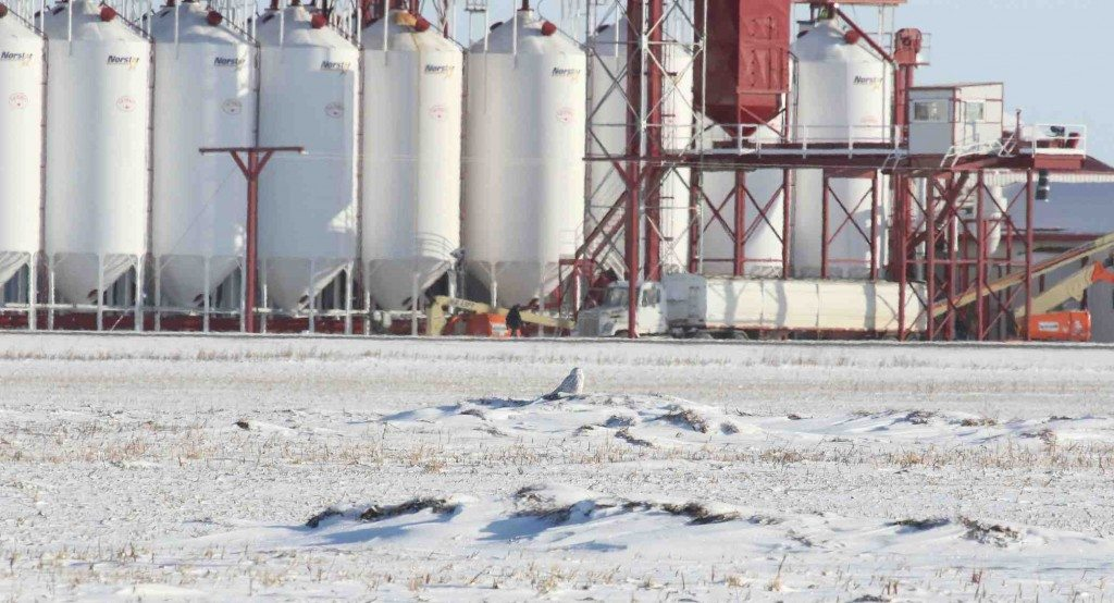 A little elevation and good visibility -- often the combination a snowy owl is looking for. (Kim Mann)