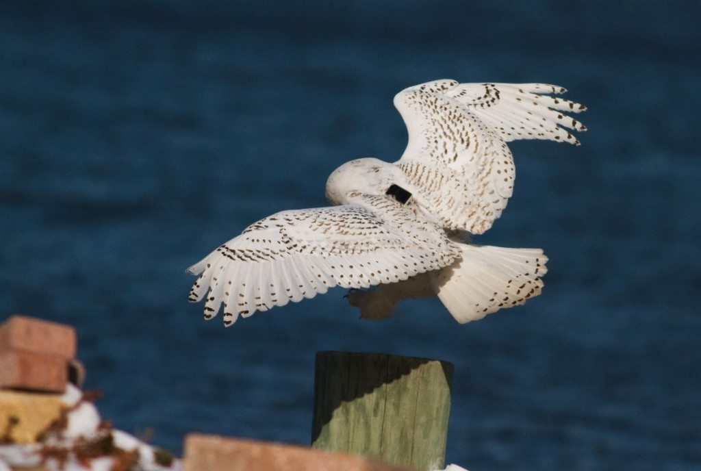 Sporting a prototype GPS/GSM transmitter, Assateague comes in for a landing in December, 2013 -- the first owl that Project SNOWstorm tracked. (©Bob Fogg)