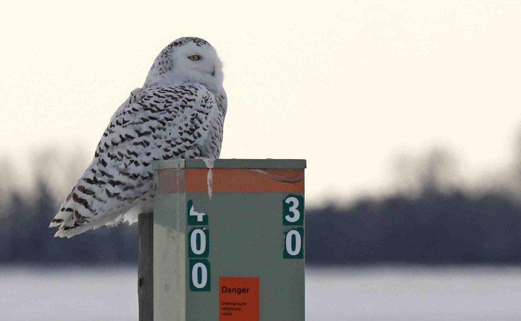 Dakota on one of her favorite perches last week, on the prairies of southern Saskatchewan. (©Val Mann)