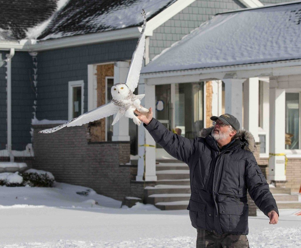 Tom McDonald releases a young male snowy owl, captured Dec. 16 just west of Rochester, NY. (©Aaron Winters)